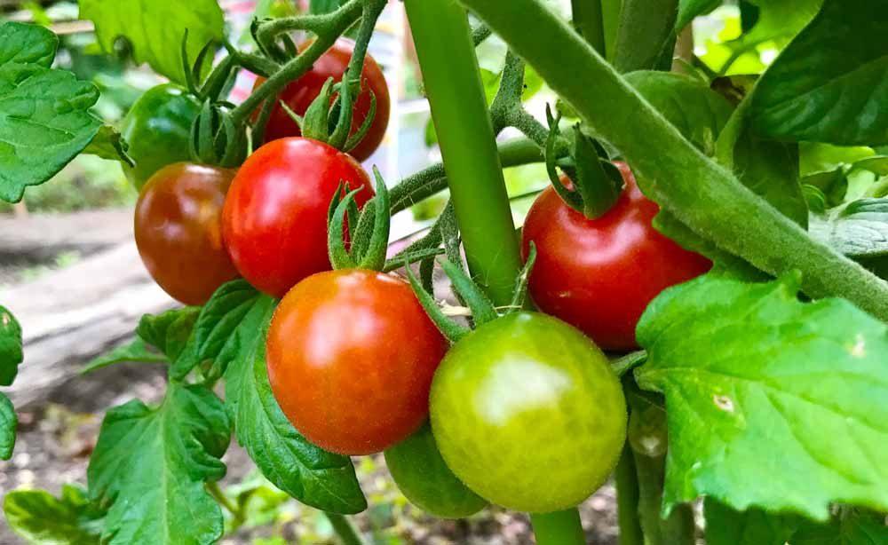 kteisaien6_tomato